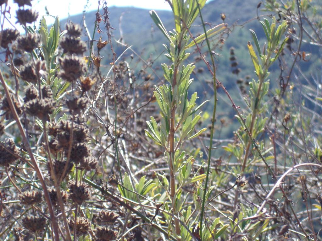 Black sage(Salvia mellifera)