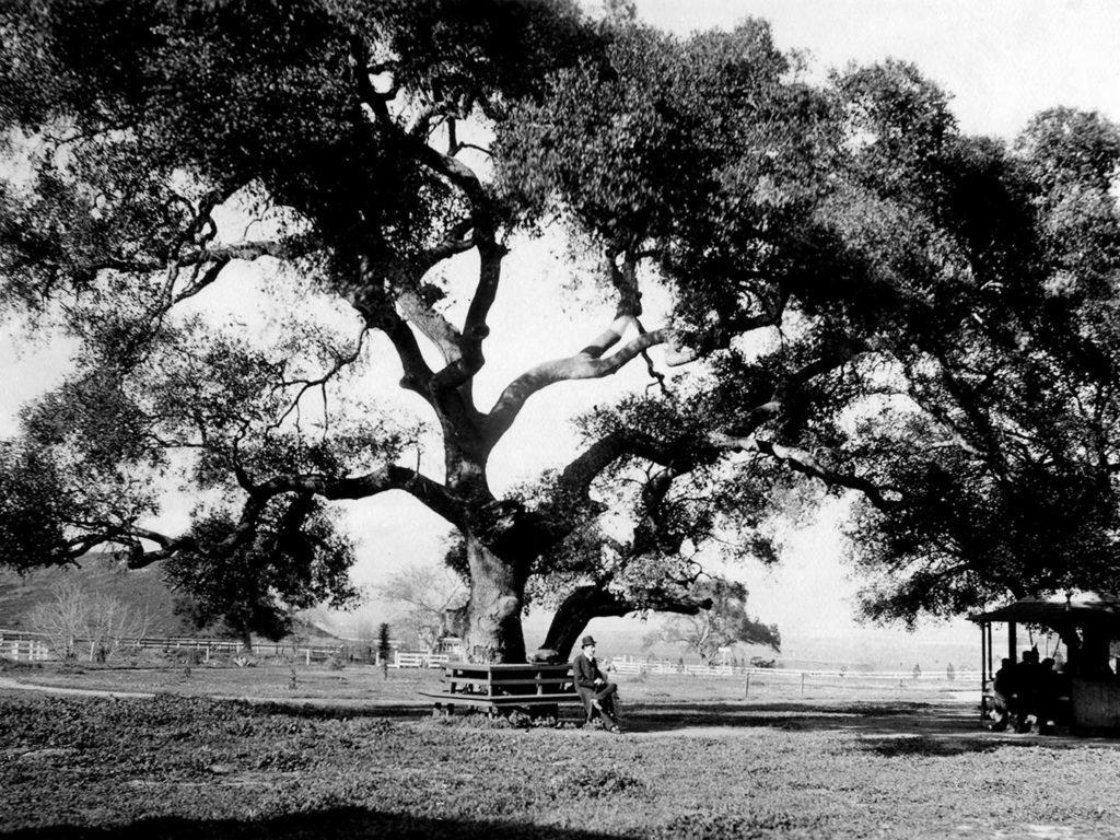 California live oak (Quercus agrifolia)