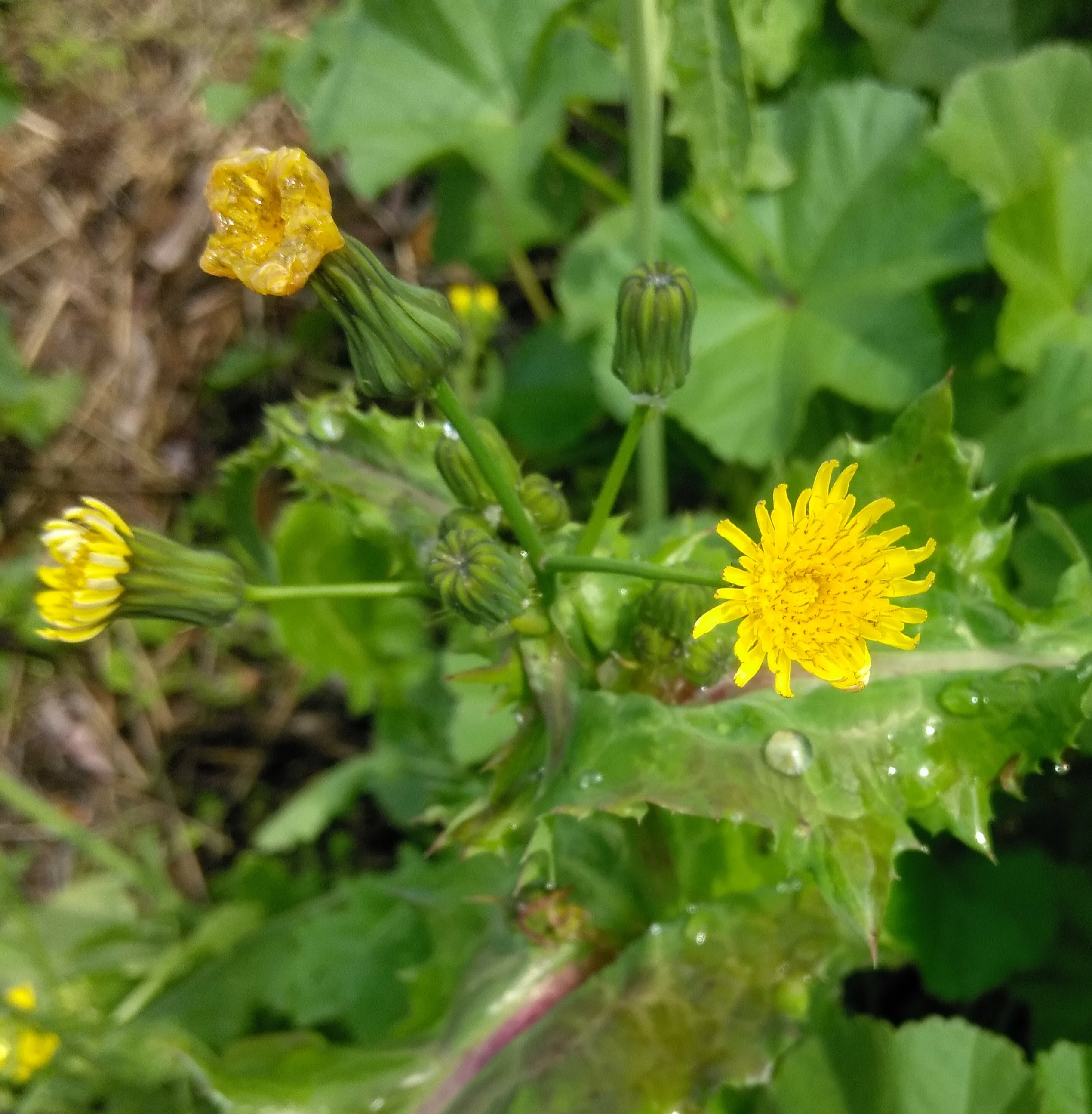 Common Sow Thistle I Love Griffith Park