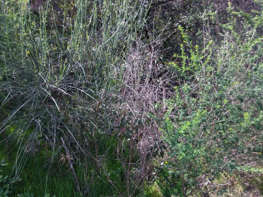 spanish broom (Spartium junceum) side by side with unknown plant