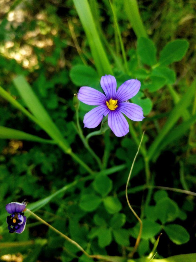 Western Blue Eyed Grass I Love Griffith Park
