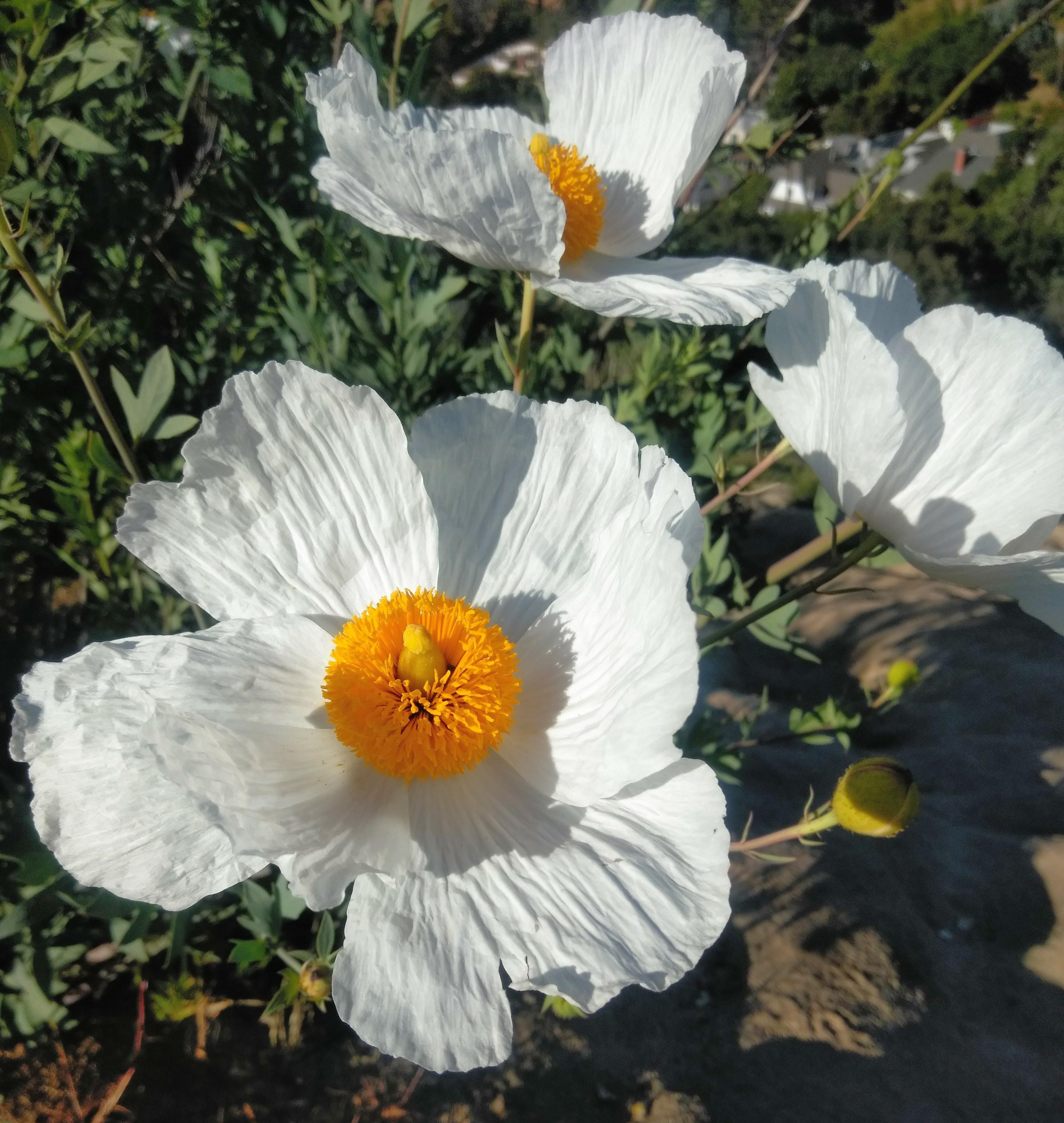 Matilija Poppy I Love Griffith Park